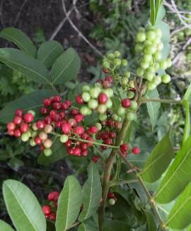 14brasilianskt pepparträd med frukter